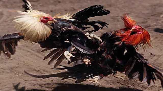 Tips Menang Taruhan Sabung Ayam Bangkok