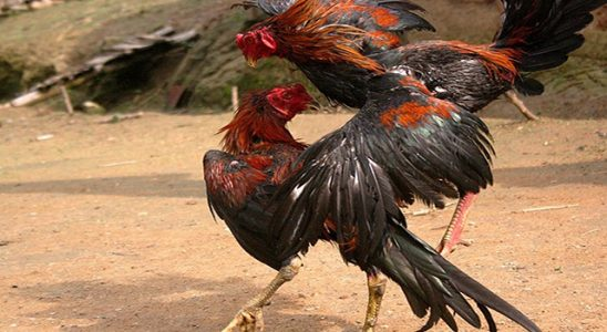 Agen Judi Sabung Ayam Online