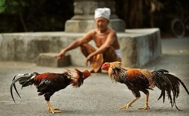 Situs Judi Ayam Online Terbaik