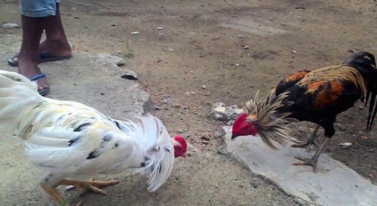 Ciri Ciri Ayam Birma Terbaik Untuk Juara