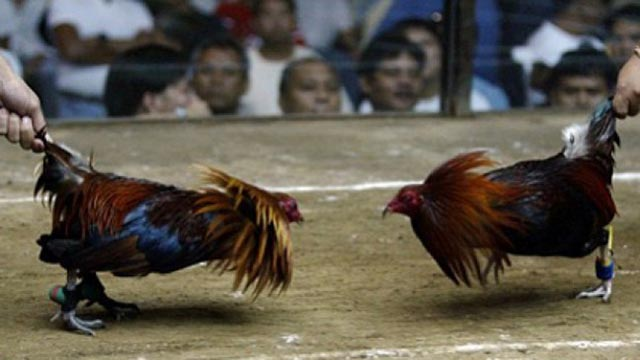 Agen Judi Sabung Ayam Termurah Indonesia