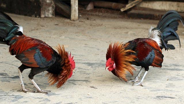 Cara Menang Judi Sabung Ayam Terbaik