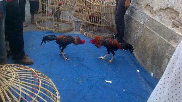 Taruhan Ayam Laga Versi Online